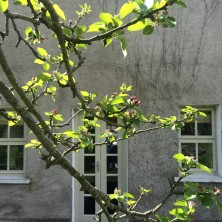 Apple blossom about to burst in spring