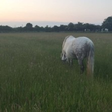 Our connemara pony in the meadow
