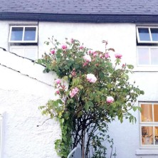 Climbing roses in summer